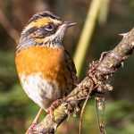 rufous breasted accentor