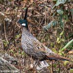 Pheasant Bird of himalayas